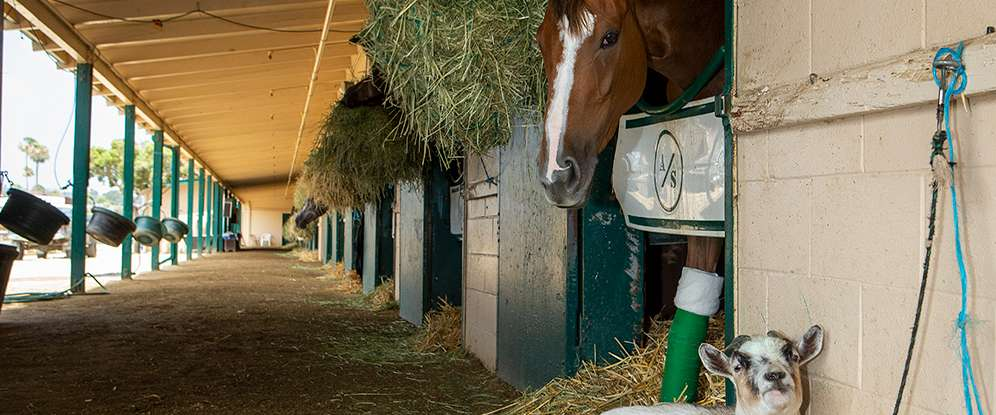 Photo of Goats and Horses: A Pairing That Works Well at the Racetrack